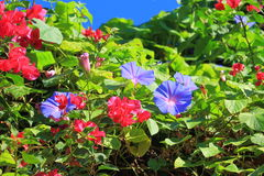 Red and blue flowers Stock Photos