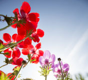 Red and blue flowers Royalty Free Stock Images