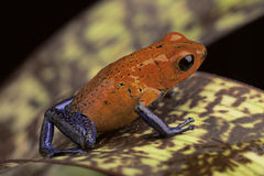 Red blue frog. Red and blue frog form Costa Rica Dendrobates pumilio Guapiles (blue jeans Royalty Free Stock Images