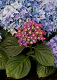 Red, blue Hortensia (Hydrangea) Royalty Free Stock Image