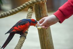 Red-and-blue lory, Eos histrio, a small, colored parrot with bright orange, short beak, red head. Feeding parrots. Communication. Of children with birds stock photos