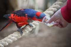 Red-and-blue lory, Eos histrio, a small, colored parrot with bright orange, short beak, red head. Feeding parrots. Communication. Red-and-blue lory, Eos histrio royalty free stock photos