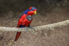 Red-and-blue lory, Eos histrio, a small, colored parrot with bright orange, short beak, red head and violet nape of the neck. Close up royalty free stock image