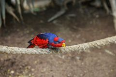 Red-and-blue lory, Eos histrio, a small, colored parrot with bright orange, short beak, red head and violet nape of the neck, deep. Violet back. Close up royalty free stock photo