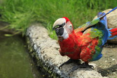 Red and blue macaw Stock Photography