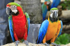 Red and blue macaw Stock Image