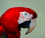 Red Blue Macaw. Stock Photo