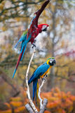 Red and blue macaw. Close up shot of red and blue macaw portrait Royalty Free Stock Photos