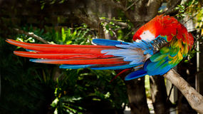 Red and blue macaw grooming Royalty Free Stock Images