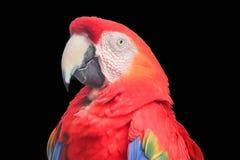 macaw isolated on black background stock photo