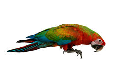 Red and blue macaw parrot, age three months . stock photos
