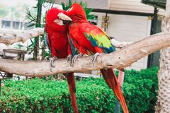 Red and Blue macaw stock photo