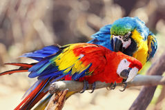 Red and blue maccaw. Two Maccaw birds grooming one another Stock Photos