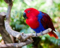 Red and blue parrot Stock Photo