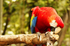 Red blue parrot bending over and nibbling on a wooden branch with its beak in the forrest. Red blue parrot bending over and nibbling on a wooden branch with its Royalty Free Stock Photos
