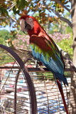 Red and blue parrot Stock Images
