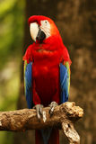 Red blue parrot sitting on wooden branch facing left. Royalty Free Stock Photo