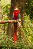 Red blue parrot sitting on wooden branch looking at me in camera. Royalty Free Stock Image