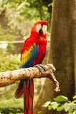 Red blue parrot sitting on wooden branch looking at me in camera. Royalty Free Stock Photo