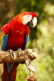 Red blue parrot sitting on wooden branch looking at me in camera in the forrest. Stock Photo
