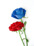 Red and blue roses on white background. Stock Photos