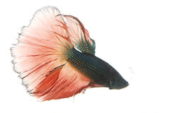 Red and Blue Siamese fighting fish Royalty Free Stock Photo