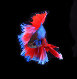 Red and blue siamese fighting fish, betta fish isolated on black. Background royalty free stock photos