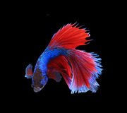 Red and blue siamese fighting fish, betta fish isolated on black Royalty Free Stock Photos