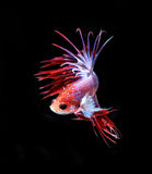 Red and blue siamese fighting fish, betta fish isolated on black Royalty Free Stock Photography