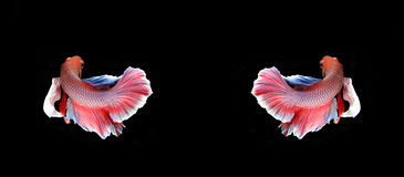 Red and blue siamese fighting fish, betta fish isolated on black. Background royalty free stock photo