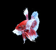 Red and blue siamese fighting fish, betta fish isolated on black Stock Photos