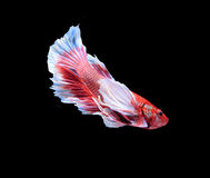 Red and blue siamese fighting fish, betta fish isolated on black Royalty Free Stock Images
