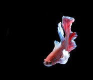 Red and blue siamese fighting fish, betta fish isolated on black Royalty Free Stock Photo