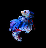 Red and blue siamese fighting fish, betta fish isolated on black. Background stock photography