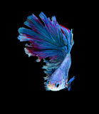 Red and blue siamese fighting fish, betta fish isolated on black. Background royalty free stock image