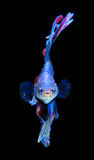 Red and blue siamese fighting fish, betta fish isolated on black. Background stock photo
