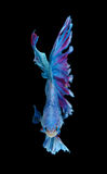Red and blue siamese fighting fish, betta fish isolated on black. Background stock photos