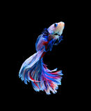 Red and blue siamese fighting fish, betta fish isolated on black. Background royalty free stock photography