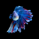 Red and blue siamese fighting fish, betta fish isolated on black. Background stock image