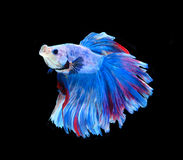 Red and blue siamese fighting fish, betta fish isolated on black. Background stock images