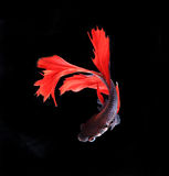 Red and blue siamese fighting fish halfmoon , betta fish isolate Royalty Free Stock Photos