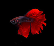Red blue siamese fighting fish halfmoon , betta fish isolated on Stock Photos