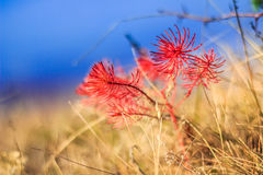 Red and Blue. Small red plant in the Autumn season, Faget forest, Cluj Napoca Royalty Free Stock Image