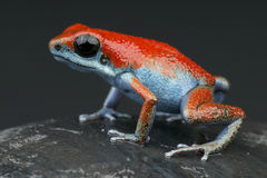 Red and Blue strawberry dart frog Stock Photos