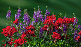 Red and Blue Summer Flowers Royalty Free Stock Photos