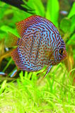 Red and blue symphysodon discus Stock Photos