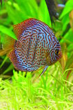 Red and blue symphysodon discus Royalty Free Stock Image