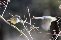The dynamic and static birds. Red, a blue tail Robins standing on a branch looking at companion fly away, the static and dynamic contrast of the picture stock photos