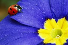 Red blue yellow. Red ladybug on a blue and yellow flower royalty free stock photo