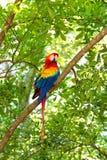 Red, blue, yellow ara parrot outdoor Stock Photos